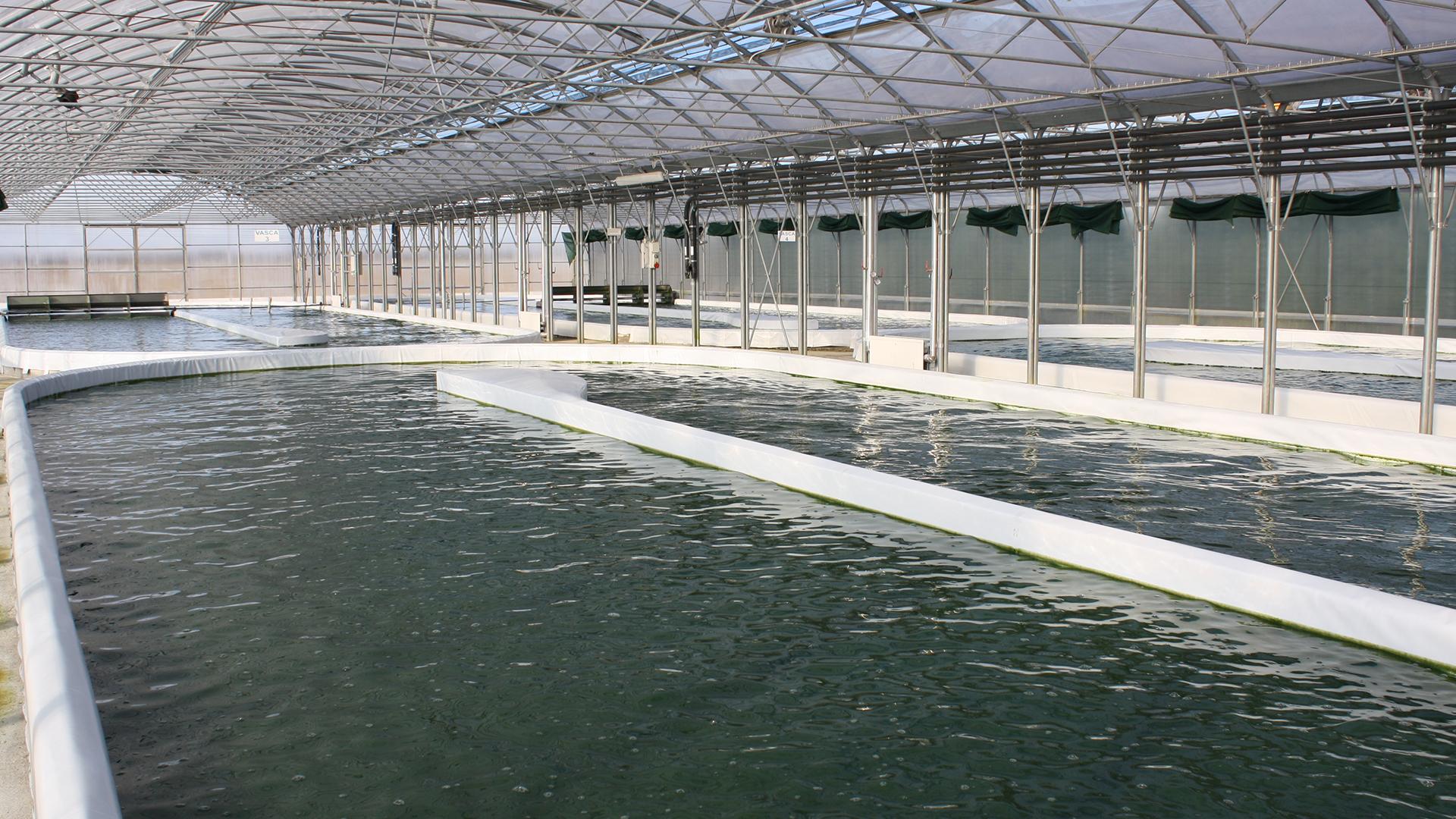 vasche per Produzione alga spirulina biologica